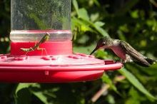 did you know one of the hummingbirds predators is the praying mantis, outdoor living, pets animals, Praying mantis practicing patience on hummingbird feeder