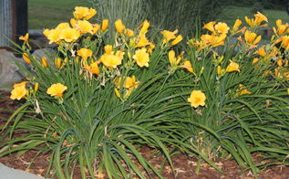 dividing daylillies and hostas in the summer creating tons of new plants for free, flowers, gardening, perennials, We created this bed of daylillies from a single plant division last summer