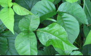 natural ways to kill poison ivy without using chemicals, gardening