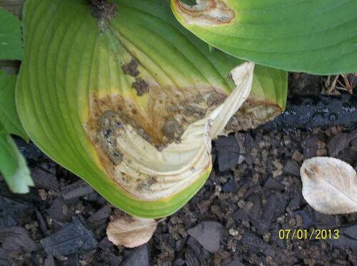 Slugs And Snails Eating My Hostas Hometalk