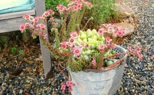 getting galvanized in the garden, container gardening, gardening, repurposing upcycling, Sempervivum arachnoideum Hens and Chicks Cebenese in an old mop bucket