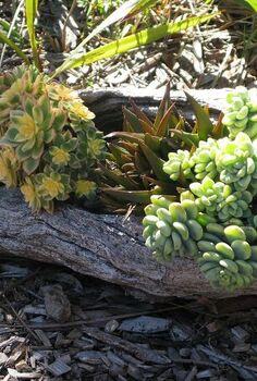 succulent log update, flowers, gardening, succulents