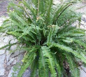 Kimberly Ferns A Great Plant For The Porch Patio Or Deck, Gardening,  Kimberly Fern
