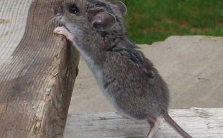 q country mice not wanted, pest control