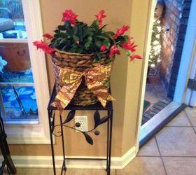 My Christmas Cactus When Should I Repot? | Hometalk