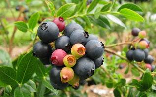 garden media releases best new garden plants products for spring 14, container gardening, flowers, gardening, BrazelBerries Blueberry Glaze
