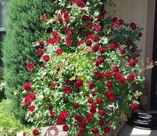 3654714/my beautiful climbing rose bush, gardening