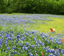q texas bluebells beautiful, flowers, gardening, Beautiful