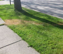 q trail of dead grass mystery, gardening, landscape, Trail of dead grass to the street