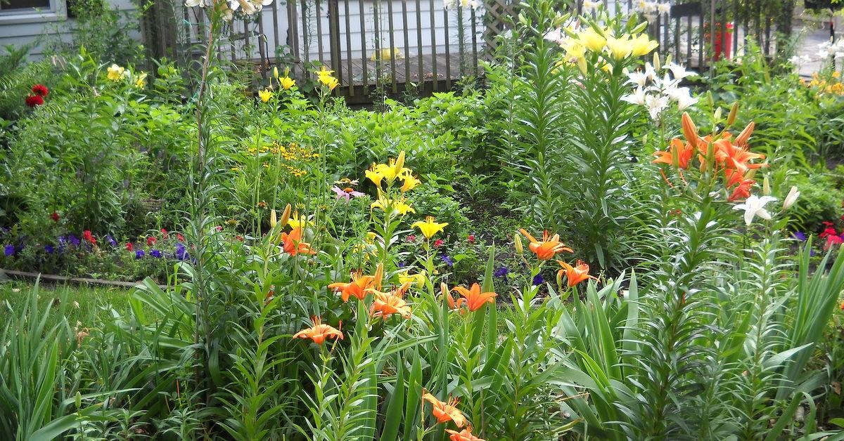 Lilies In Bloom In Zone 5 Hometalk