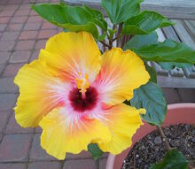 early spring blooms, flowers, garages, gardening, hibiscus