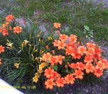 my yard, gardening, in front of my porch ppl stop just to tell me how pretty they are