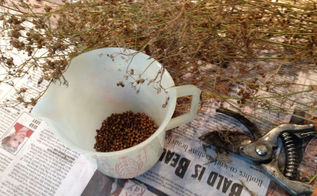 collecting seeds, gardening, My 2012 coriander seed collection