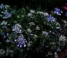 q flat top hydrangeas tried looking up type type of hydrangeas big leave, flowers, gardening, hydrangea