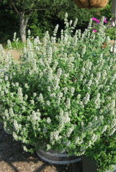 vegetable gardening, gardening, My catnip has gone crazy this year It really loves the heat I let it bloom instead of cutting it and drying it because it helps attract bees to my garden
