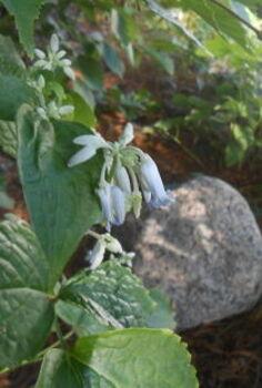 gardening clematis stans flower, gardening, Clematis stans