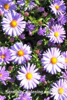 gardening flowers purple asters hellebore primula, flowers, gardening