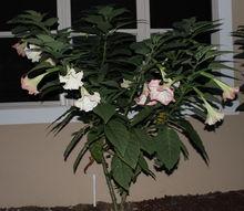 my garden, flowers, gardening, Angel Trumpet Brugmansia