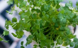 planting cilantro creating an indoor kitchen garden, container gardening, gardening