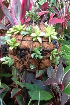 this was made by attaching two hanging baskets together, gardening, succulents