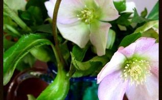time for hellebores, flowers, gardening