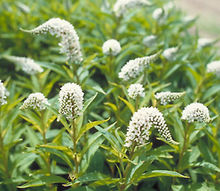 invasive plant horror stories, flowers, gardening, perennials, It looks harmless enough Photo via Bluestone Perennials