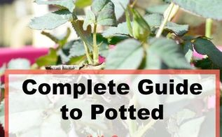 potted mini rose bush series part one how to pot a mini rose bush, container gardening, flowers, gardening, how to