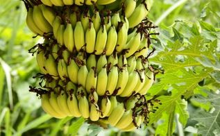 bananas not just for eating anu more, gardening, go green, homesteading, repurposing upcycling