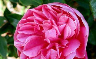 roses roses roses, flowers, gardening