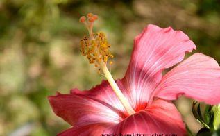 simple joys of springs first blooms spring, flowers, gardening, hibiscus