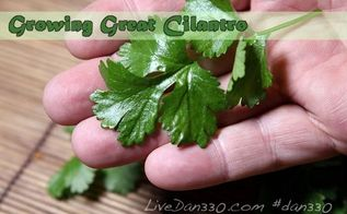 the best way to grow cilantro, gardening, how to, Fresh picked cilantro