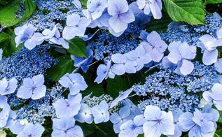 tips for beautiful hydrangeas, flowers, gardening, hydrangea, Love the greens and violet in this picture