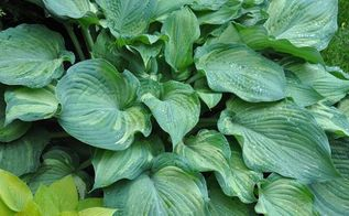 shade gardening how to use hostas to best advantage, gardening, how to, perennial