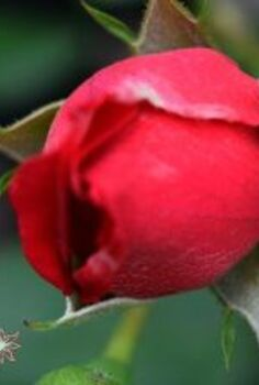 6 proven tips for growing the biggest healthiest rose blooms ever , flowers, gardening