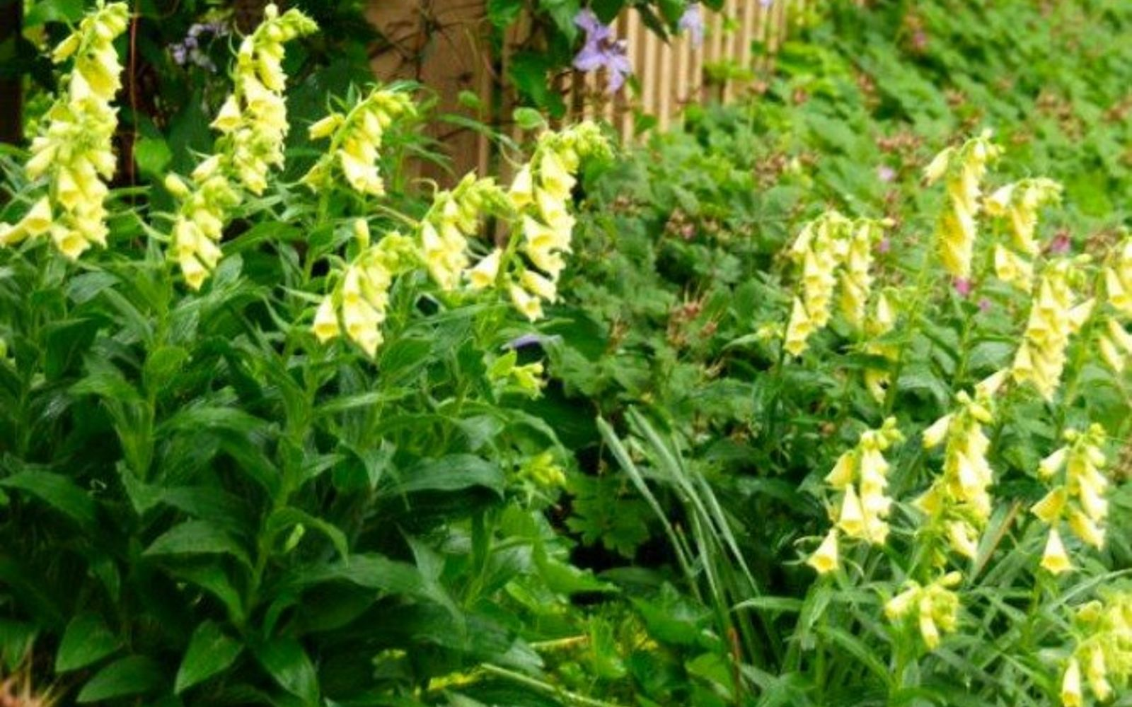 s 11 stunning flowers that thrive in shade, gardening, Brighten shady spots with Yellow Foxgloves