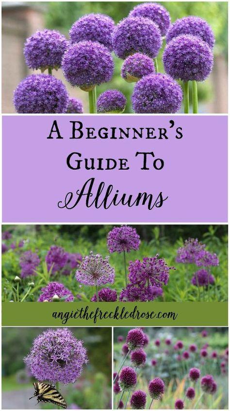 A Beginner 39 S Guide To Alliums Hometalk
