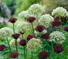 a beginner s guide to alliums, flowers, gardening, how to, Atropurpureum Nigrum alliums