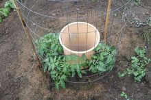 s the easiest ways to grow a bumper crop of tomatoes, gardening