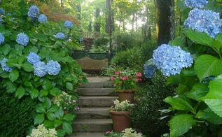 grumpy gardener s tips for hydrangeas, flowers, gardening, how to, hydrangea