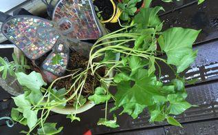 my sweet potato turns to potato vine yeah , gardening