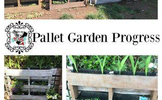 pallet garden progress, container gardening, gardening, pallet