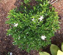 q gardenia bushes