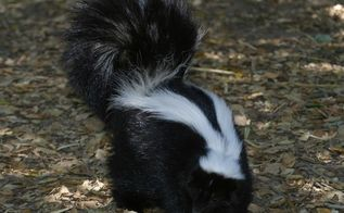 be prepared the skunk always wins, cleaning tips, how to, pets animals