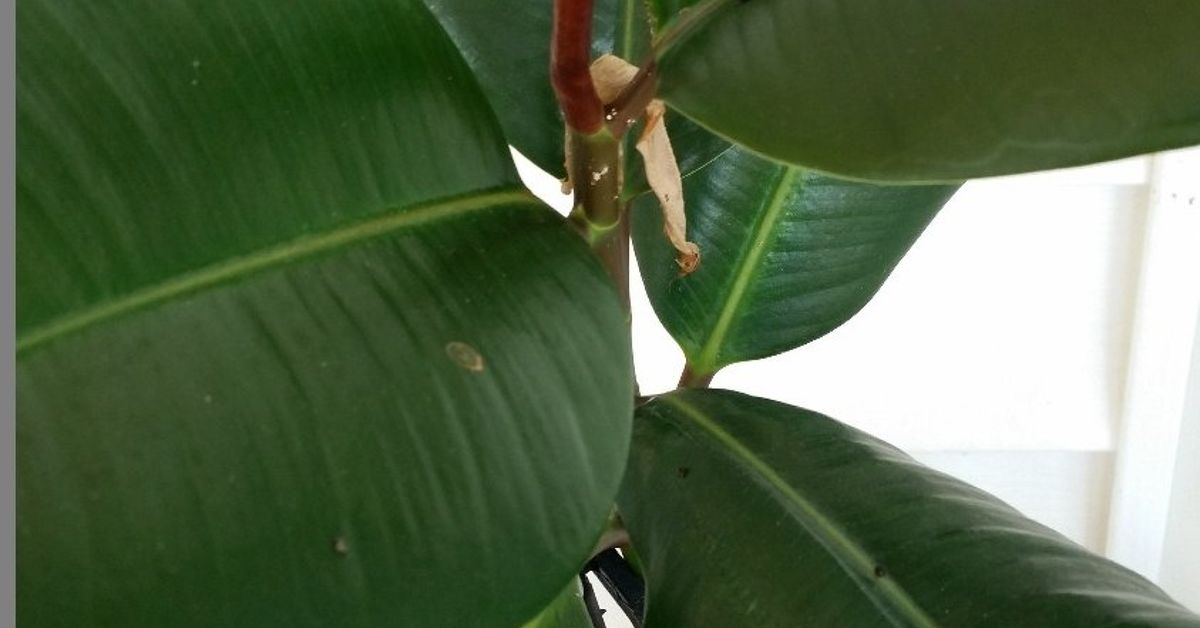 Rubber Plant Insect Hometalk