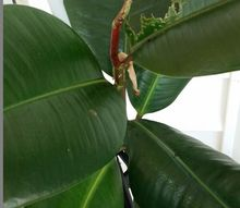 q rubber plant insect, gardening, pest control, 1 photo