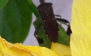 q insect, gardening, gardening pests