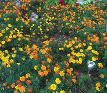 saving seeds for next year s garden, gardening, plant care, Marigold flower bed from saved seeds