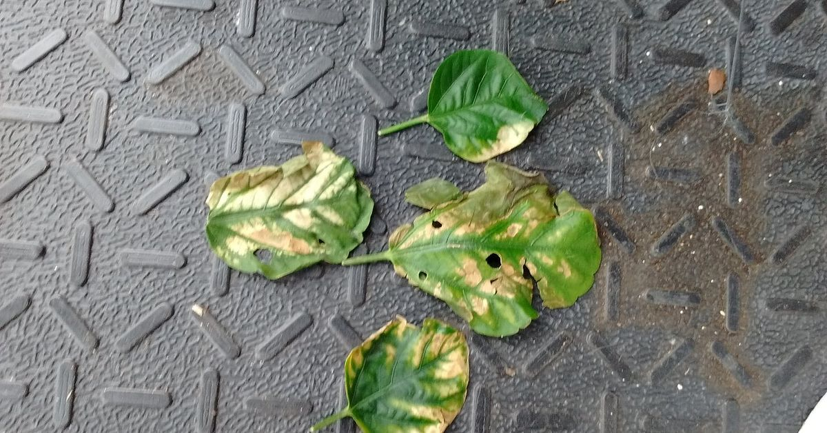 New Hibiscus Leaves Are Shriveling Up And Looking Burnt