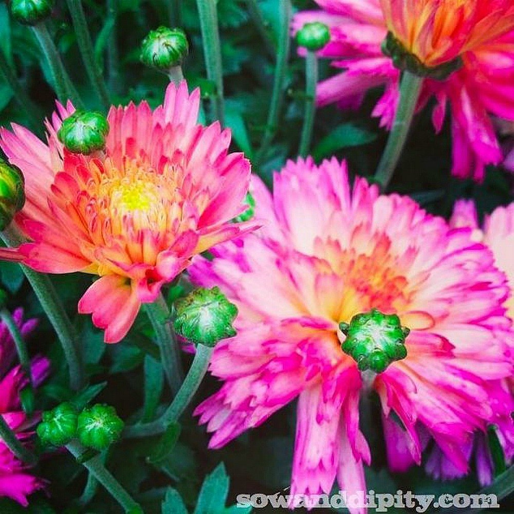 Fall Flower Mums: The Top 15 Fall Flowers Everyone Is Loving This Season