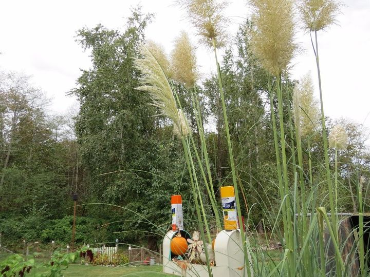 how to take care of pampas grass